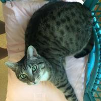 Domestic Shorthair/Domestic Shorthair Mix Cat for adoption in Cumming, Georgia - Nelvana