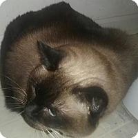 Siamese Cat for adoption in Devon, Pennsylvania - LA-Sassy