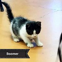Adopt A Pet :: Boomer - San Angelo, TX
