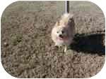 Pomeranian Mix Dog for adoption in Chesapeake, Virginia - Brently