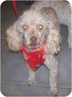 Toy Poodle/Poodle (Toy or Tea Cup) Mix Dog for adoption in Oak Ridge, New Jersey - Coco Chanel