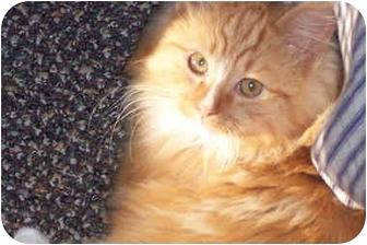 Domestic Longhair Kitten for adoption in Owatonna, Minnesota - Leo