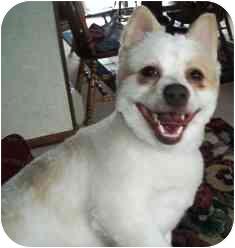 American Eskimo Dog/Pomeranian Mix Dog for adoption in Osseo, Minnesota - Brandon