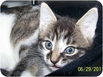 Domestic Mediumhair Kitten for adoption in Lakewood, Ohio - Belle (outgoing)