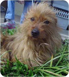 Cairn Terrier Mix Dog for adoption in Litchfield, Connecticut - Betty