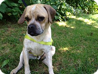 Pug Mix Dog for adoption in Worcester, Massachusetts - Chester
