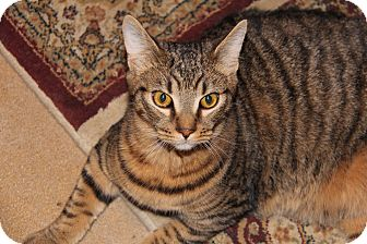 Domestic Shorthair Kitten for adoption in Forked River, New Jersey - Chino