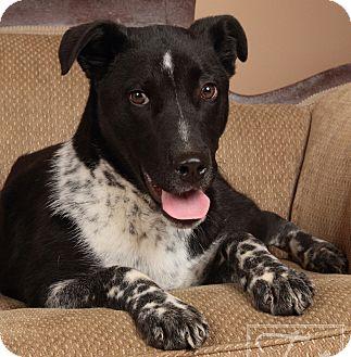 Australian Cattle Dog/Border Collie Mix Puppy for adoption in Homewood, Alabama - Diesel