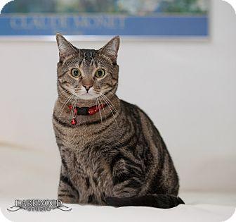 Domestic Shorthair Cat for adoption in St. Louis, Missouri - Jem