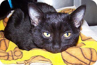 Domestic Shorthair Kitten for adoption in Grants Pass, Oregon - Peach