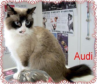 Snowshoe Cat for adoption in Ozark, Alabama - Audi