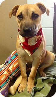 American Staffordshire Terrier/American Pit Bull Terrier Mix Puppy for adoption in New Milford, Connecticut - Marvel