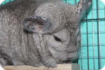 Chinchilla for adoption in Titusville, Florida - Max