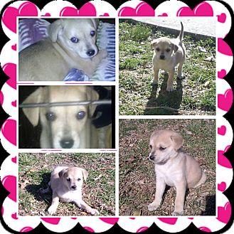 Labrador Retriever Mix Puppy for adoption in ST LOUIS, Missouri - Minnie