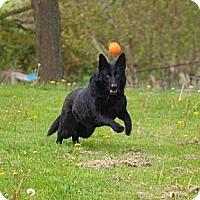 Adopt A Pet :: Shadow - Toronto/Etobicoke/GTA, ON
