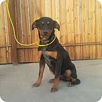Adopt A Pet :: Little Lover - Lucerne Valley, CA