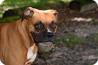 Boxer Mix Dog for adoption in Brooksville, Florida - Mrs. Robinson