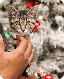Domestic Shorthair Kitten for adoption in Martinsville, Indiana - Abby