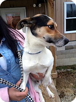Rat Terrier Mix Dog for adoption in Loogootee, Indiana - Spunky