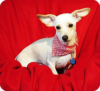Chihuahua/Dachshund Mix Dog for adoption in Weatherford, Texas - Fiona