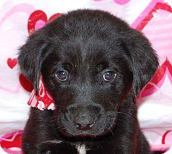 Labrador Retriever/Golden Retriever Mix Puppy for adoption in Allentown, New Jersey - Max