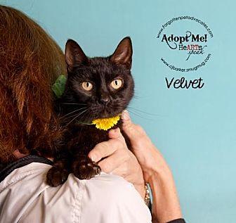 Domestic Shorthair Cat for adoption in Pearland, Texas - Velvet