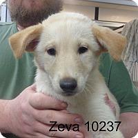 Adopt A Pet :: Zeva - Greencastle, NC