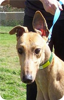 Greyhound Dog for adoption in Randleman, North Carolina - Jackson