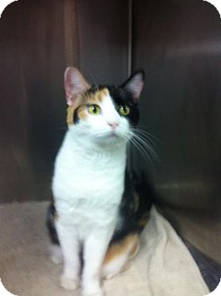 Calico Cat for adoption in Greenville, Kentucky - ROSE