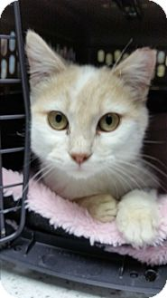 Domestic Shorthair Kitten for adoption in Stafford, Virginia - Miracle