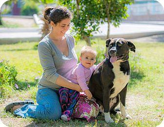 Boxer/Labrador Retriever Mix Dog for adoption in Santa Monica, California - Kitty