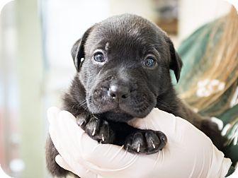 Labrador Retriever Mix Puppy for adoption in Dallas, Texas - Atlas