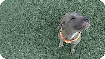 Pit Bull Terrier Dog for adoption in Iowa Park, Texas - Rizzo