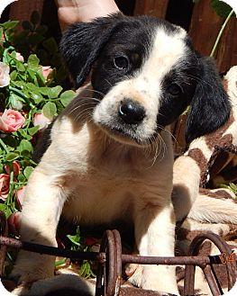 Border Collie/Australian Shepherd Mix Puppy for adoption in Burlington, Vermont - Dodger (6 lb)