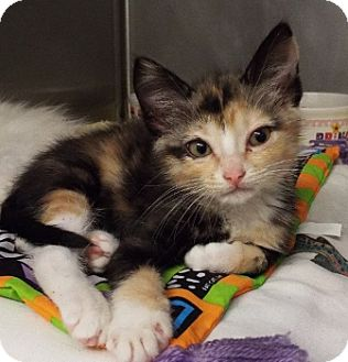 Domestic Mediumhair Kitten for adoption in Grants Pass, Oregon - Shirley