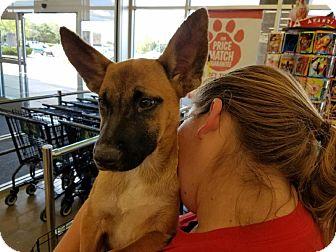 Shepherd (Unknown Type)/Basenji Mix Puppy for adoption in Hainesville, Illinois - Novak