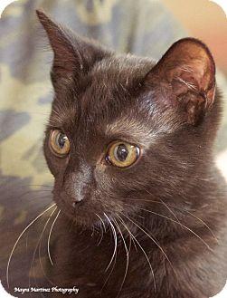 Domestic Shorthair Cat for adoption in Homewood, Alabama - Bandit Mc