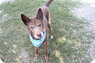 Husky Mix Dog for adoption in Greensboro, North Carolina - Charlie Brown