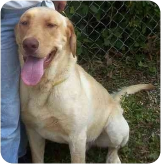 Labrador Retriever Dog for adoption in Princeton, Indiana - Jake