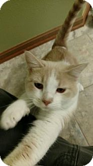 Domestic Shorthair Cat for adoption in Des Moines, Iowa - Melodie