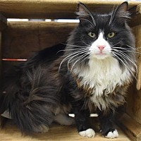 Domestic Longhair Cat for adoption in Germantown, Maryland - Santiago - FIV positive
