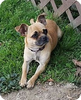 Chihuahua/Pug Mix Dog for adoption in Normandy, Tennessee - Tilly
