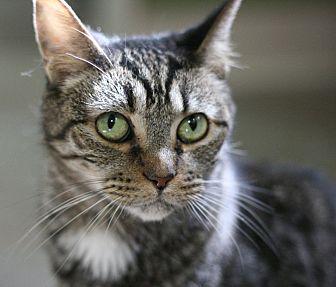 Domestic Shorthair Cat for adoption in Canoga Park, California - Yabba