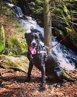 American Staffordshire Terrier Dog for adoption in Williston, Vermont - Pillow