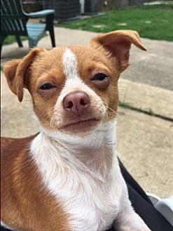 Chihuahua Mix Puppy for adoption in Salem, New Hampshire - Lil Liza