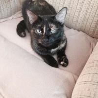 Adopt A Pet :: Juniper - Saskatoon, SK
