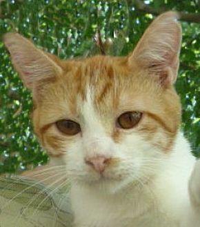 British Shorthair Kitten for adoption in Dallas, Texas - Rascal