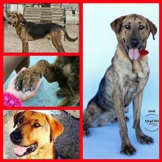 Shepherd (Unknown Type)/Plott Hound Mix Dog for adoption in Castaic, California - Axel