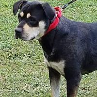Adopt A Pet :: Brutus - Minneapolis, MN