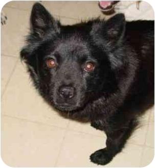 Schipperke Mix Dog for adoption in Columbus, Nebraska - Lula